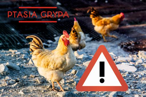 zdjęcie ilustrujące do informacji o ptasiej grypie